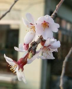 枝垂桜02